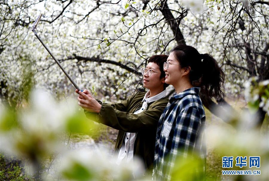 梨の花の香りが観光客を魅了 河北省廊坊市